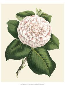 Antique Camellia IV by Van Houtte