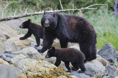 Vancouver Island Black Bear (Ursus Americanus Vancouveri) Mother With Cubs On A Beach-Bertie Gregory-Photographic Print