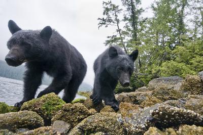 Vancouver Island Black Bears (Ursus Americanus Vancouveri) Taken With Remote Camera-Bertie Gregory-Photographic Print