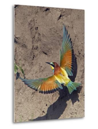 European Bee-Eater (Merops Apiaster) Flying to Nest Hole in Bank, Pusztaszer, Hungary, May 2008