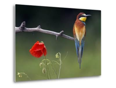 European Bee-Eater (Merops Apiaster) Perched Beside Poppy Flower, Pusztaszer, Hungary, May 2008