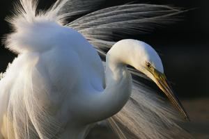 Great Egret (Ardea Alba) Pusztaszer, Hungary, May by Varesvuo