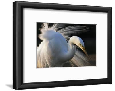 Great Egret (Ardea Alba) Pusztaszer, Hungary, May