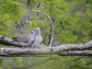 Turtle Dove (Streptopelia Turtur) Pair, Pusztaszer, Hungary, May 2008 by Varesvuo
