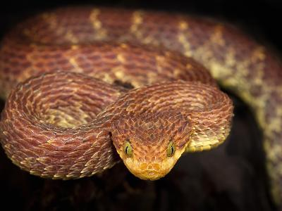 Variable Bush Viper (Atheris Squamigera), Captive-Michael Kern-Photographic Print