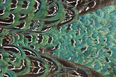 Variations on Feather Colors of the Ring-Necked Pheasant-Darrell Gulin-Photographic Print
