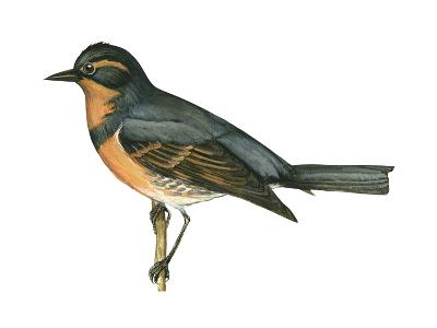 Varied Thrush (Ixoreus Naevius), Birds-Encyclopaedia Britannica-Art Print