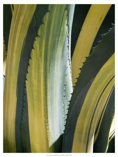 Variegated Agave I-Rachel Perry-Art Print