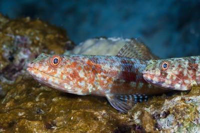 Variegated Lizardfish (Synodus Variegatus)-Reinhard Dirscherl-Photographic Print