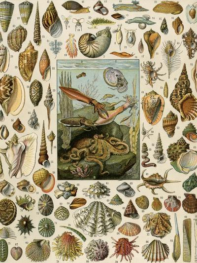 Varieties of Molluscs, Including Scallop, Clam, Conch, Snail, and Squid--Giclee Print
