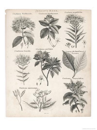 Varieties of the Cinchona Species-Barlow-Giclee Print