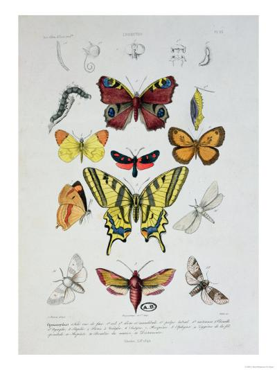 """Various Butterflies from """"Dictionnaire Elementaire D'Histoire Naturelle""""-A. Baron-Giclee Print"""