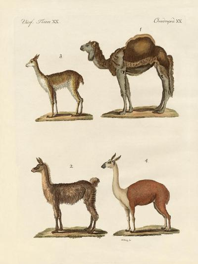 Various Camels--Giclee Print