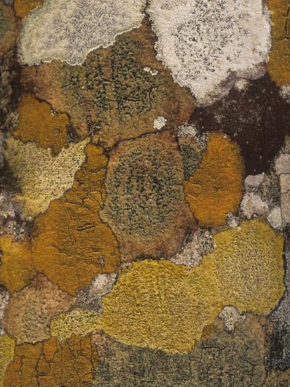 Various Crustose Lichens Growing on the Bark of a Mangrove Tree, Florida, USA-Gary Meszaros-Photographic Print