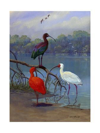 https://imgc.artprintimages.com/img/print/various-ibis-perch-lakeside_u-l-pojqdg0.jpg?p=0