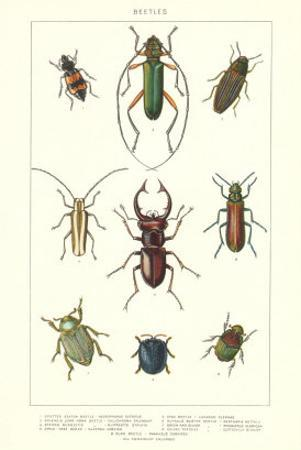 Various Kinds of Beetles