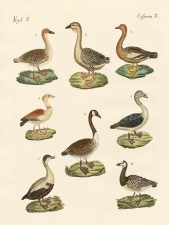 Various Kinds of Geese--Giclee Print