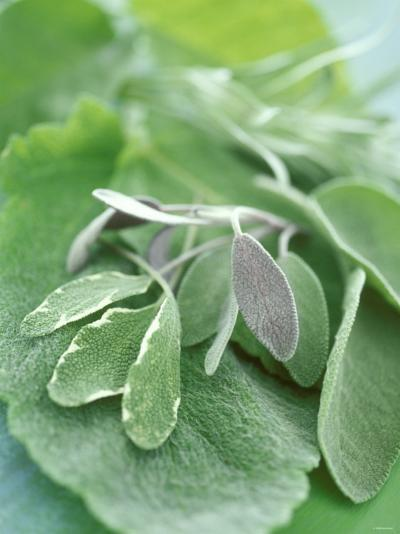 Various Sage Leaves--Photographic Print