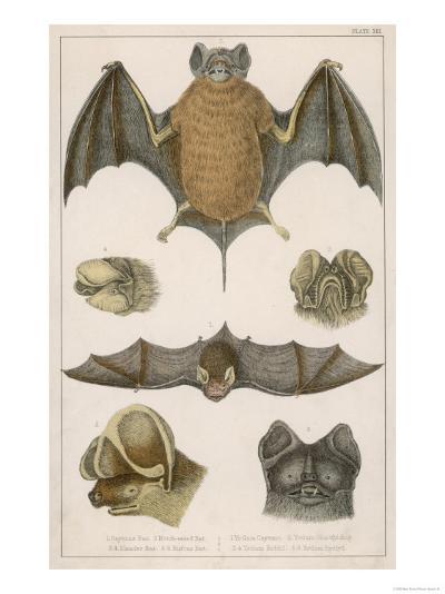Various Species of Bat--Giclee Print