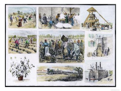 Various Stages of Cotton Processing--Giclee Print