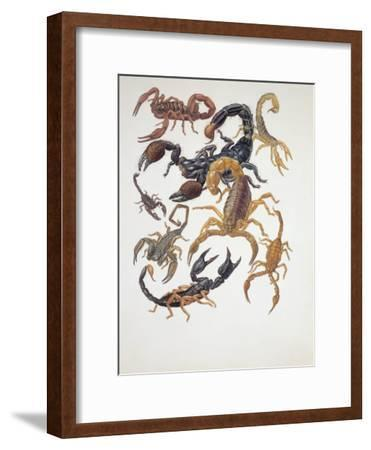 Various Type of Scorpions (Buthus Europaeus)