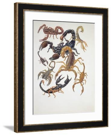 Various Type of Scorpions (Buthus Europaeus)--Framed Photographic Print