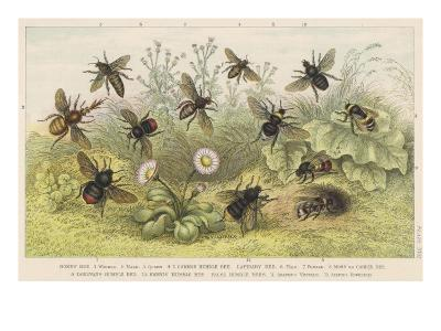 Various Types of Bee--Giclee Print