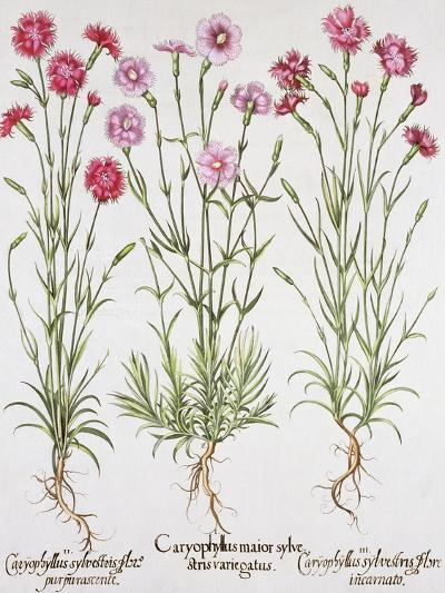 Various Varieties of Dianthus, from the Hortus Eystettensis by Basil Besler--Giclee Print