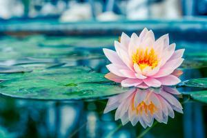 Beautiful Pink Lotus, Water Plant with Reflection in a Pond by Vasin Lee