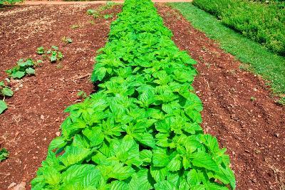 Vegetable garden at Thomas Jefferson's Monticello in Charlottesville Virginia--Photographic Print