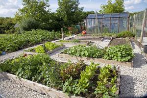 Vegetables Growing in Raised Beds on Garden Plot
