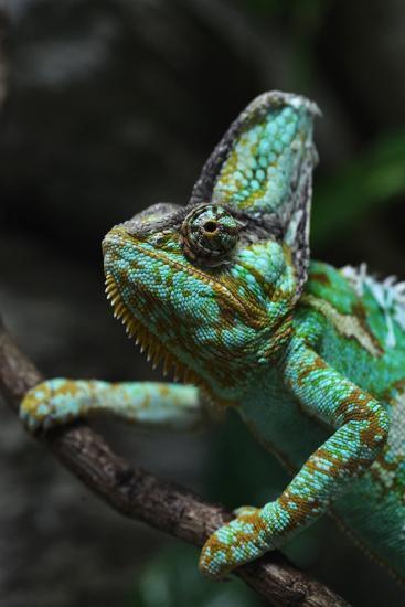 Veiled Chameleon (Chamaeleo Calyptratus), also known as the Yemen Chameleon. Wildlife Animal.-Vladimir Wrangel-Photographic Print