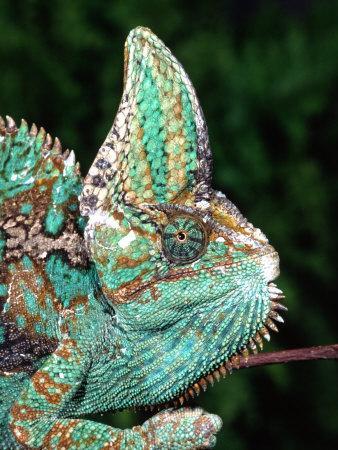 https://imgc.artprintimages.com/img/print/veiled-chameleon-native-to-yemen_u-l-p2ttz00.jpg?p=0