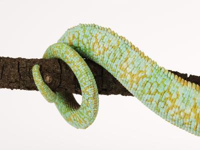 Veiled Chameleon Tail Wrapped Around Twig-Martin Harvey-Photographic Print