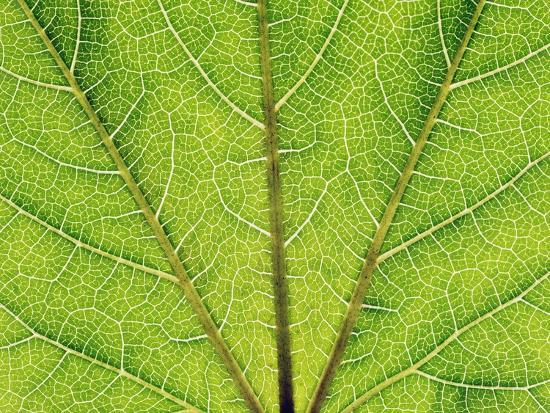 Veins in a grapevine leaf-Frank Krahmer-Photographic Print