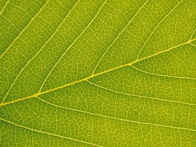 https://imgc.artprintimages.com/img/print/veins-of-leaf_u-l-p6df1g0.jpg?p=0