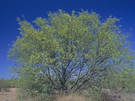 Velvet Mesquite Tree, Prosopis Velutina, Sonoran Desert, Arizona, USA-Doug Sokell-Photographic Print