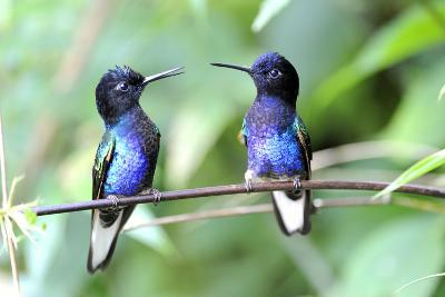 Velvet-Purple Coronet Hummingbird- duelune-Photographic Print