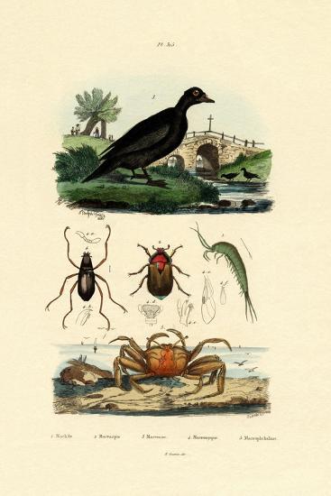 Velvet Scoter Duck, 1833-39--Giclee Print