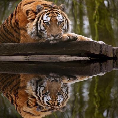 Beautiful Heartwarming Image of Tiger Laying with Head on Paws Reflection in Water