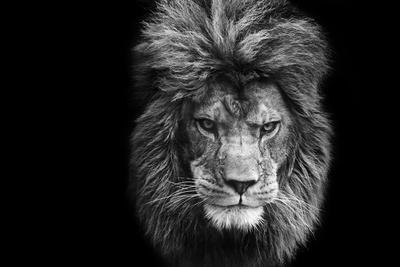 Stunning Facial Portrait of Male Lion on Black Background in Black and White