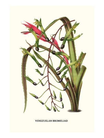 Venezuelan Bromeliad-Louis Van Houtte-Art Print
