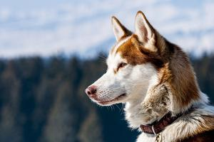 Siberian Husky in the Snow by vent du sud