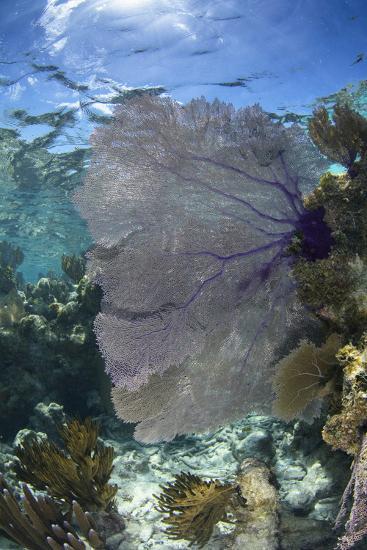 Venus Sea Fan, Lighthouse Reef, Atoll, Belize-Pete Oxford-Photographic Print