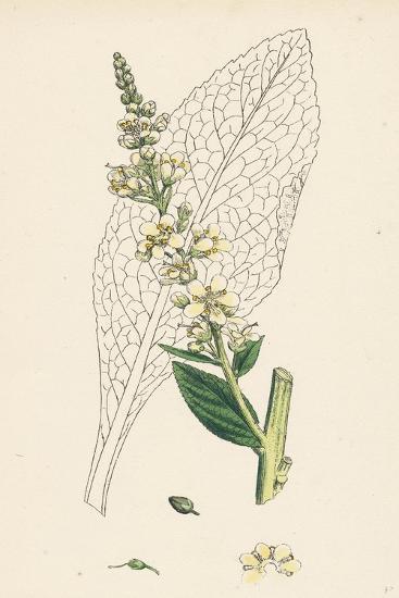 Verbascum Lychnitis White Mullein--Giclee Print