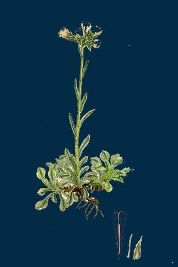 Verbascum Nigro-Lychnitis; Hybrid Between Dark and White Mulleins--Giclee Print