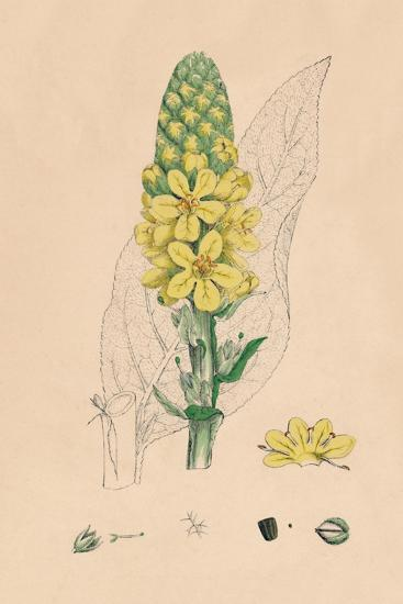 'Verbascum Thapsus. Great Mullein', 19th Century-Unknown-Giclee Print