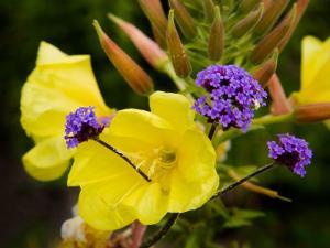 Verbena Bonariensis and Evening Primrose, Ireland