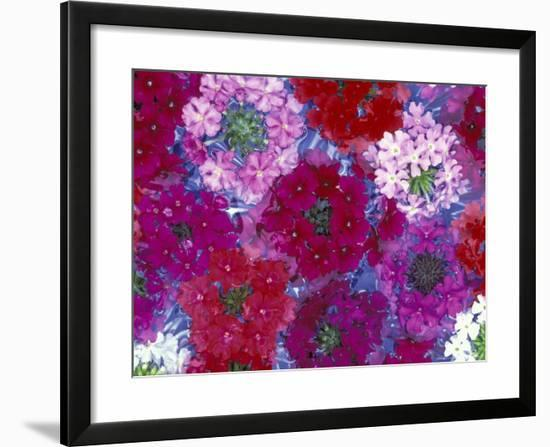 Verbena Floating Flowers, Sammamish, Washington, USA-Darrell Gulin-Framed Photographic Print
