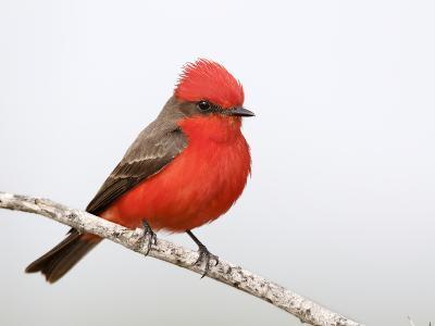 Vermilion Flycatcher Male (Pyrocephalus Rubinus), Laredo, Texas, USA-Arthur Morris-Photographic Print